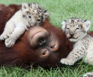 Orangutan and cubs